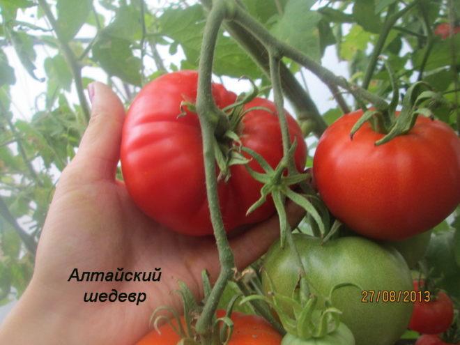 """Томаты """"Алтайский шедевр"""" вкусны и неприхотливы"""