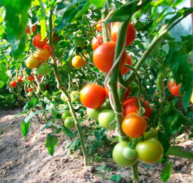 """Томаты """"Андромеда"""" выращиваются рассадным методом"""