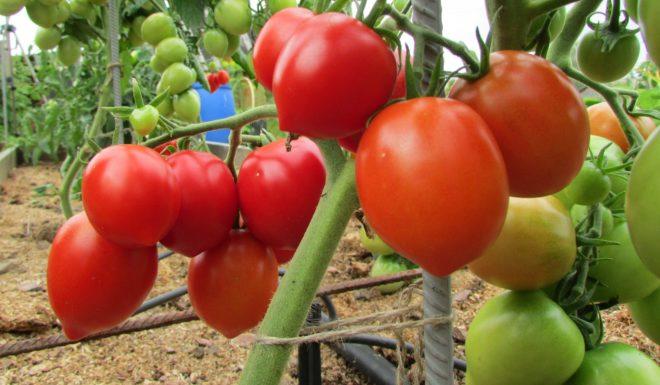 """Прищипывание томатов """"Буденовка"""" необходимо"""