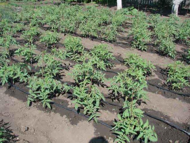Подкормка и полив томатов обязательны
