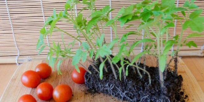 Для выращивания рассады нужно создать определенные условия