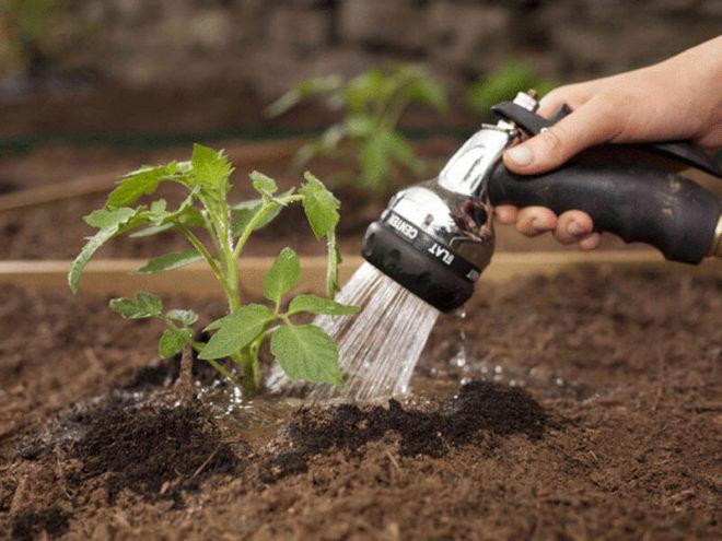 Поливать помидоры нужно под корень