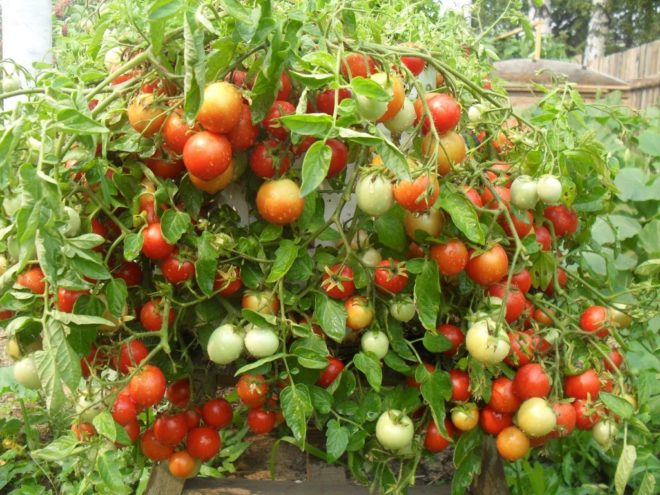 """Плоды томата """"Валентина"""" небольшие по размеру"""