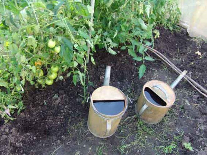 """Томаты """"Японский краб"""" нуждаются в поливе и удобрении"""