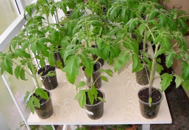 Рассада томатов требует досвечивания