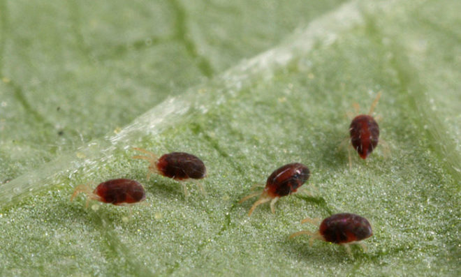 Избавиться от паутинного клеща помогут инсектициды
