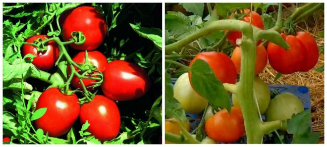 Ультраскороспелые томаты универсальны в выращивании