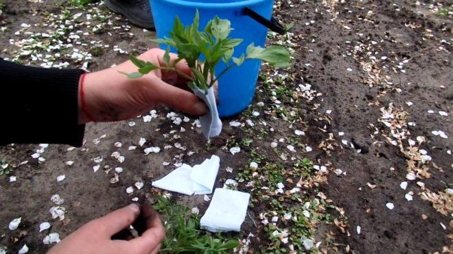 Томаты высаживают при температуре в +15 градусов Цельсия.