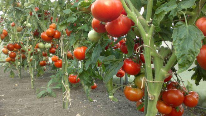 Низкорослые ультраскороспелые томаты предпочтительнее