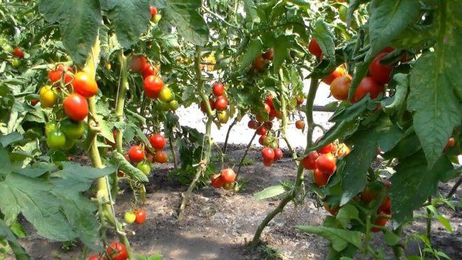 """Выращивать томаты """"Вельможа"""" нужно в точном соответствии с технологией"""