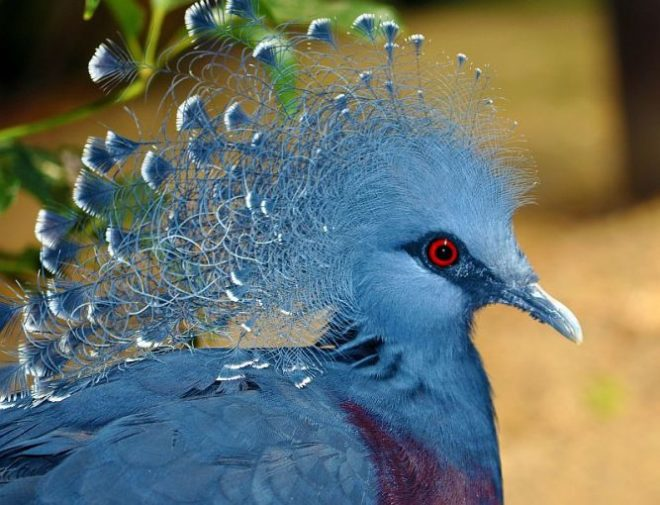 Венценосный голубь потрясающе красив