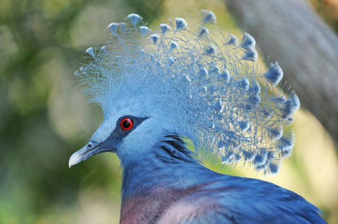 Венценосный голубь отличается от других голубей размерами и окрасом