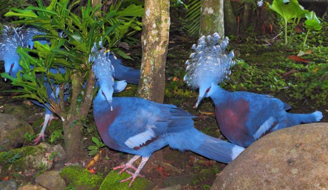 Поголовье венценосных голубей сокращается из-за браконьерства