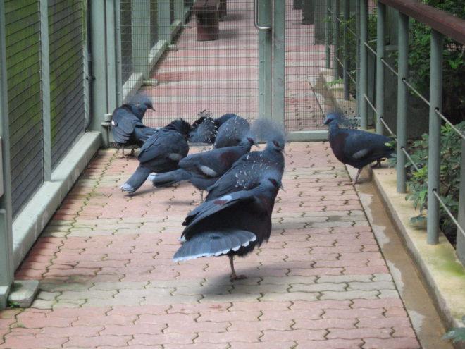 Венценосных голубей разводят в неволе