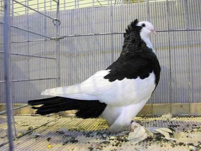 Бульгуминские голуби красивы и хорошо летают