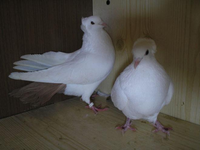 Бакинские голуби хорошо летают