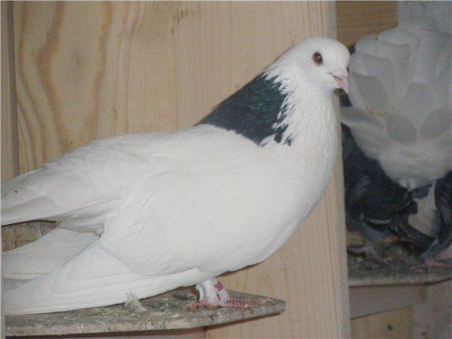 Пугачевская порода голубей не зарегистрирована официально