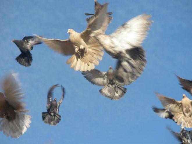 Высоколетные голуби отличаются высотой и продолжительностью полета
