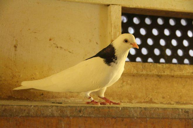 Пермские голуби летают ровно