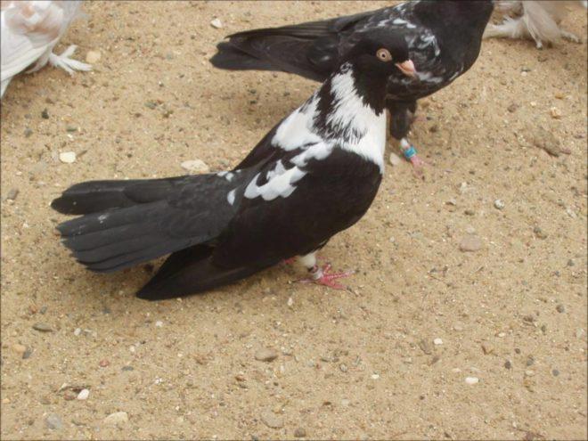Мордовские голуби небольшие и пестрые