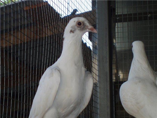 Сербские голуби летают очень долго