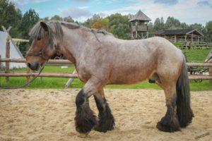Бельгийский тяжеловоз: лошадь породы брабансон