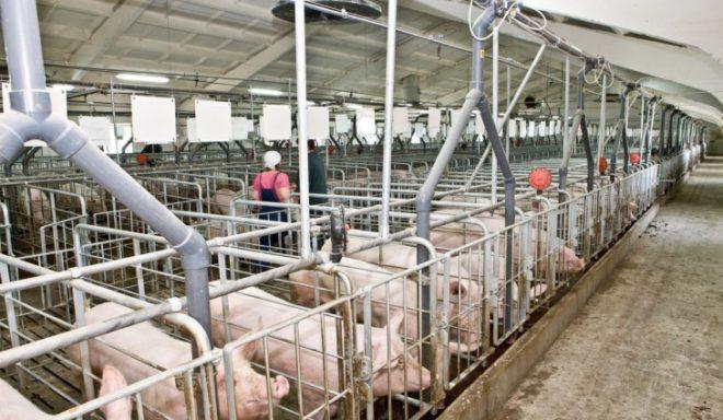 Важно правильно организовать бизнес по разведению свиней