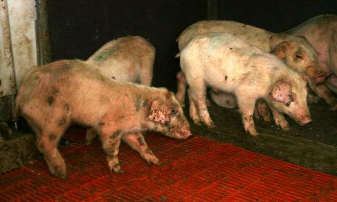 Свиньи могут болеть и умирать