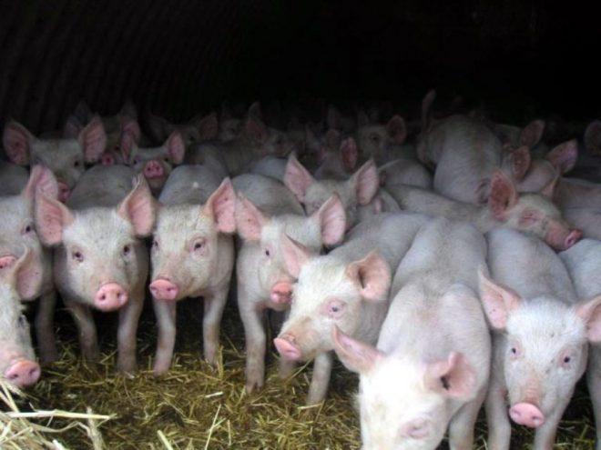 Бизнес по разведению свиней окупается за 2,5 года