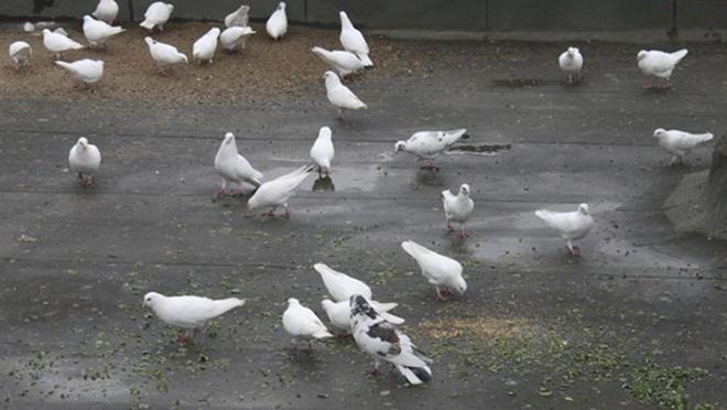 Качество корма влияет на срок жизни голубей