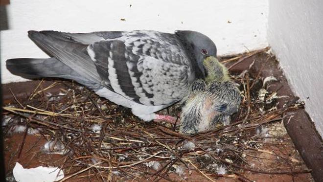 Новорожденные птенцы самостоятельно не едят