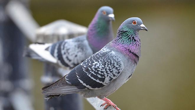 Корм для голубей надо подобрать верно