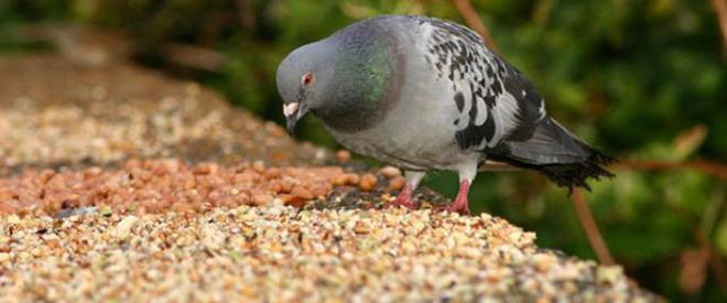 Кормление спортивных голубей отличается