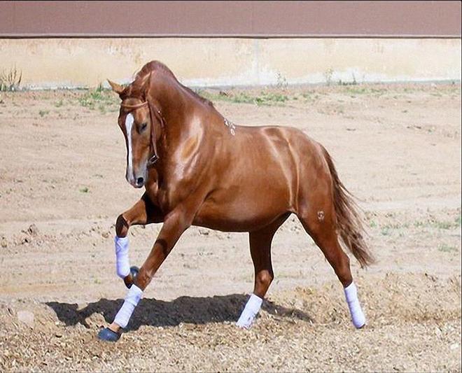 Ноги у лошади мощные и длинные