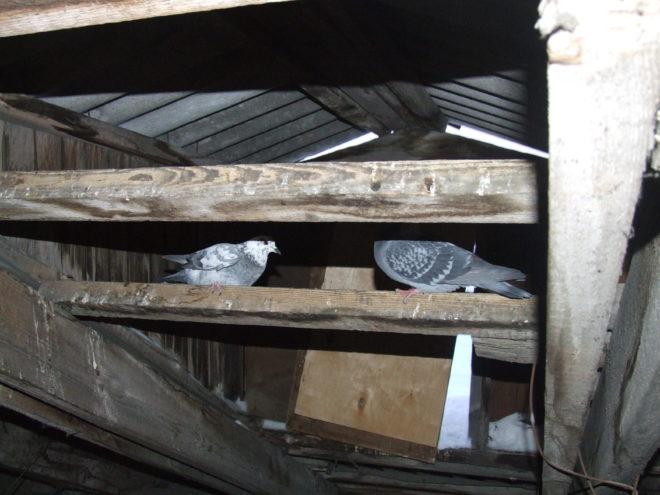 Легко поймать спящего голубя на чердаке
