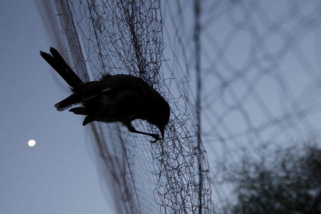 Поймать голубя сетью несложно