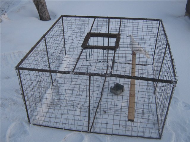 Самодельная коробка-ловушка поможет поймать голубя