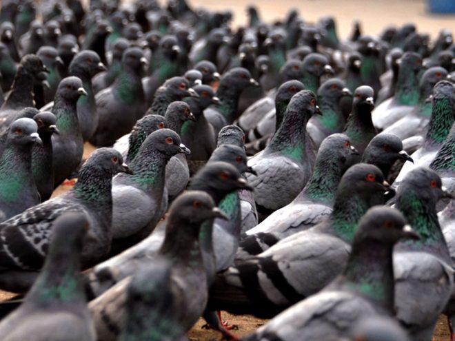 Болезнью Ньюкасла часто болеют ветеринары и работники птицеферм