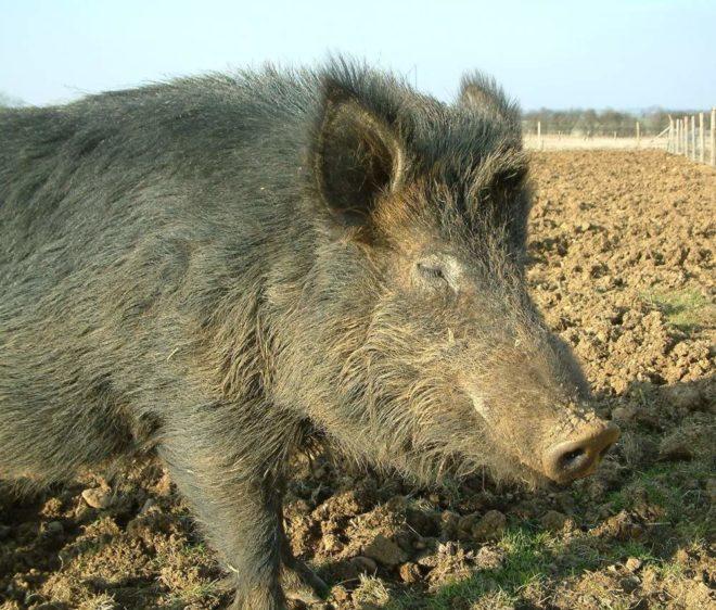 Длинная шерсть защищает свиней от холода