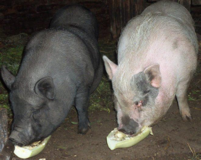 На год свинье нужен центнер корма