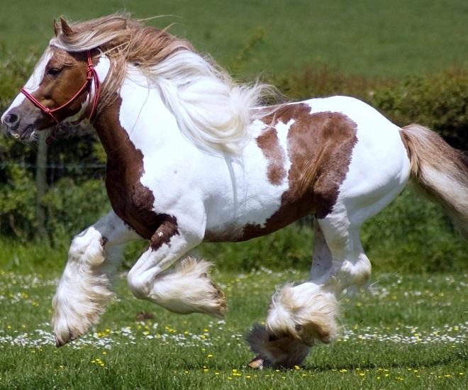 Главные показатели коня: силовые качества, выносливость и скорость при тяге, экстерьер и поведение