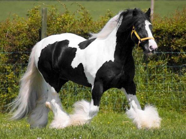представитель хладнокровных пород лошадей - Клейдесдаль .