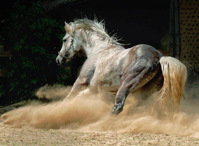 Скаковые лошади быстры, выносливы и сильны