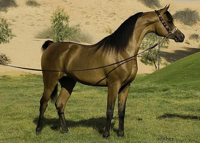 Чистокровный арабский жеребец завезен в Европу рыцарями