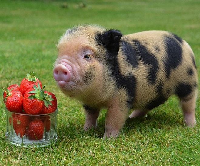 Среди модных домашних животных всё чаще можно встретить мини-пиги