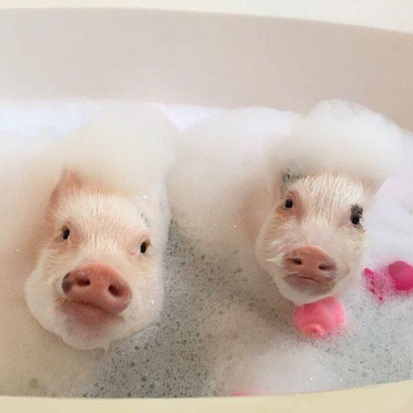 Свинки обожают тёплый душ