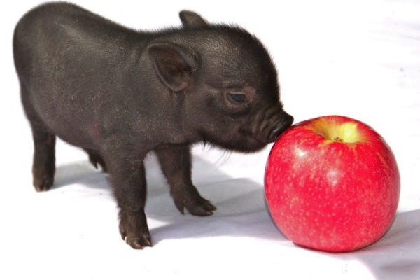 Рацион питания декоративных свинок