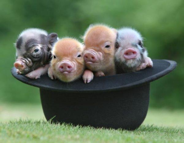 скачать скин пиги свинки - фото 4