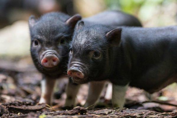 Декоративные свинки дружелюбны