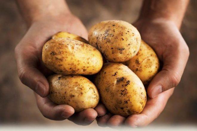Давать сырой картофель свиньям нужно осторожно